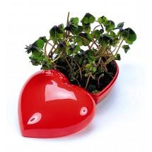 Glücksklee Herz, Glückskleezwiebeln - rot
