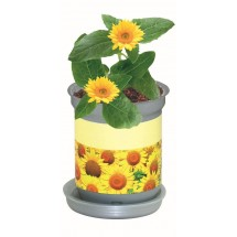 XL Wachstum Sonne, Zwergsonnenblume, 1-4 c Digitaldruck inklusive - gelb